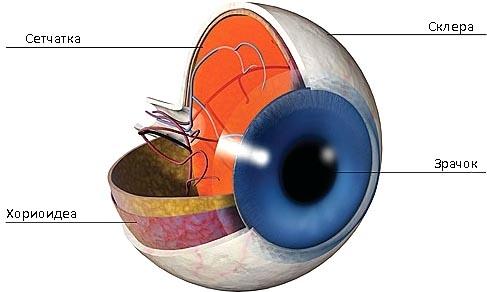 анатомическая структура глаза